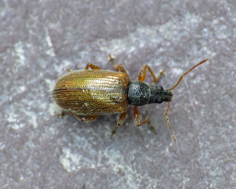 Phyllobius oblongus