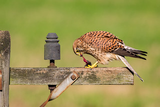 Female Kestrel | by www.craigrogers.photography
