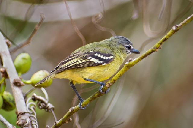 Poiaeiro-de-sobrancelha (Ornithion inerme)