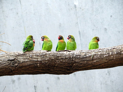 Parakeets all in a row | by littlemisspurps