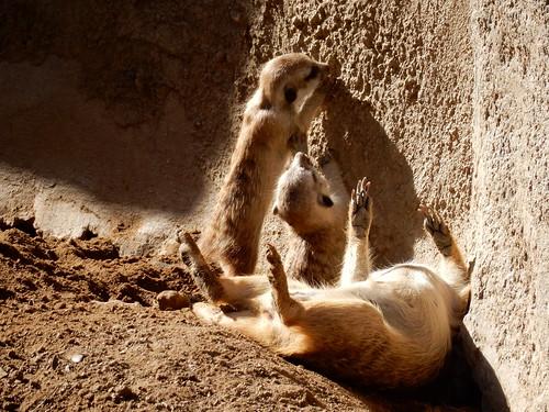 San Diego Zoo - stokstaartjes