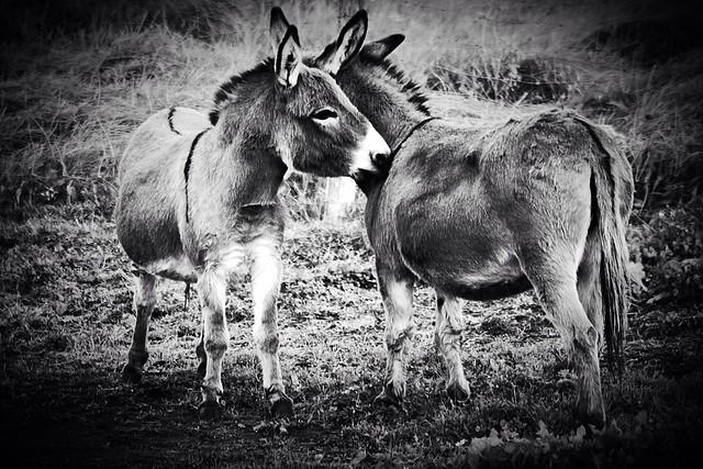 Emery Farm donkey duo