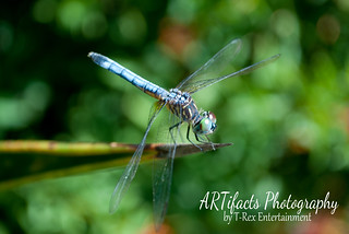 Dragonfly | by ARTifacts Photography