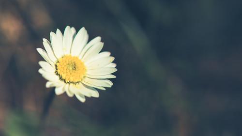 Gänseblümchen im Sonnenschein II