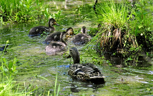 usa newyork bird water us pond unitedstatesofamerica ducks upstatenewyork newyorkstate ithaca birdwatching naturalworld waterbirds westernnewyork cornelluniversity tompkinscounty cornelllabofornithology nikond300 sapsuckerwoodssanctuary henandducklings acdseeultimate8