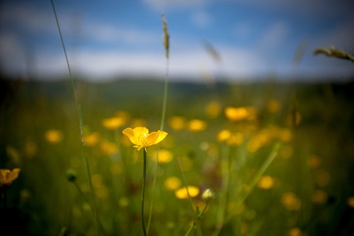 flowers flower yellow canon virginia buttercup 1740mm 5dmarkii