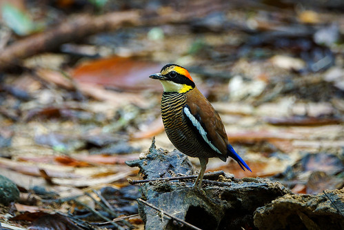 (Malayan) Banded Pitta (female) | by arnewuensche66