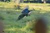 Merak hijau - Pavo muticus by joe_ask
