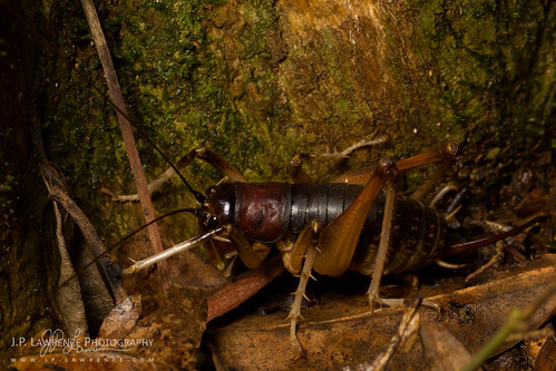 Giant King Cricket | by J.P. Lawrence Photography