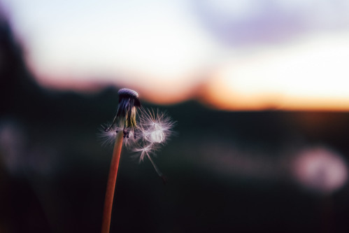 sunset nature spring seed peaceful dandelion
