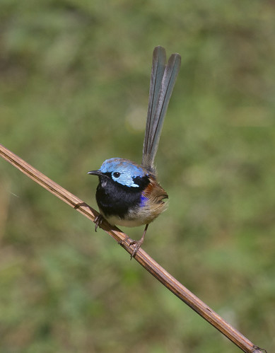 Variegated Fairywren | by boombana