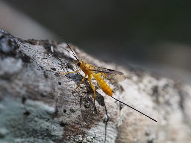 Yellow Parasitic Wasp
