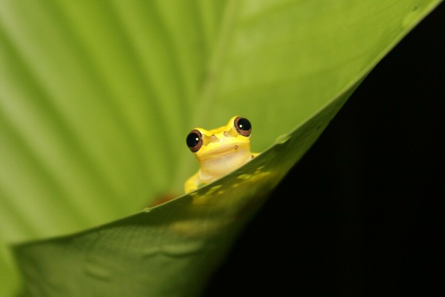 Red-skirted treefrog (Dendropsophus rhodopeplus)