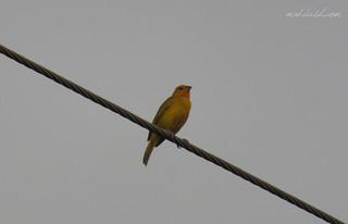 Saffron Finch (Sicalis flaveola) in Duncan