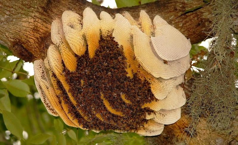 panal de abejas natural