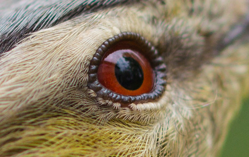 Red-eyed Vireo eye