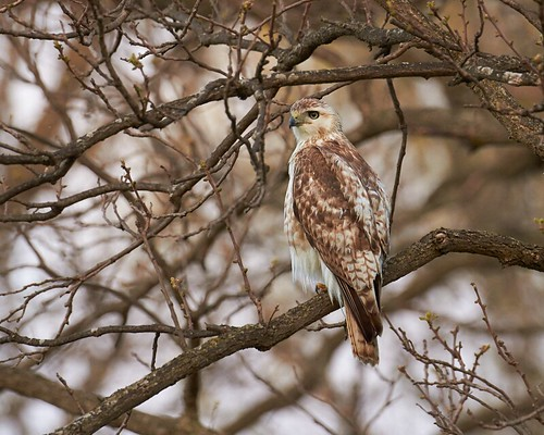 Red-tailed Hawk | by humanaaut