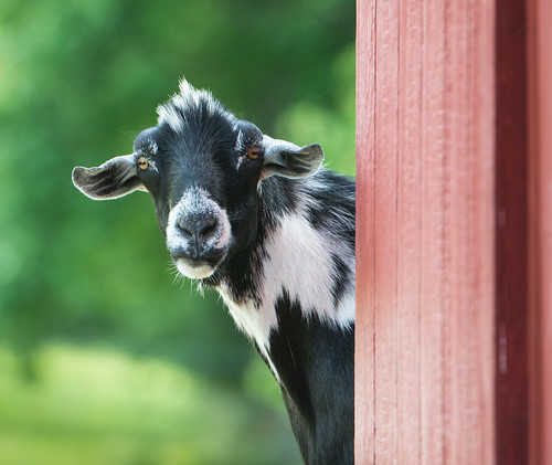 Cowboy, our wethered king of the barnyard   by springerhelpnc