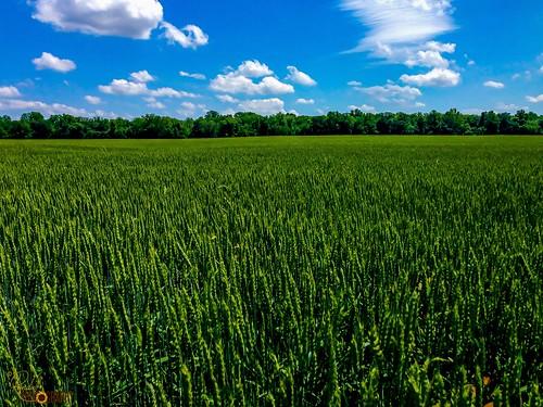 blue usa green nature field clouds landscape us wheat maryland bluesky greenfield blueskyandclouds greenwheat centervillemd