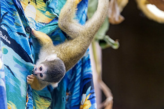 Squirrel monkey on the shirt | by Tambako the Jaguar