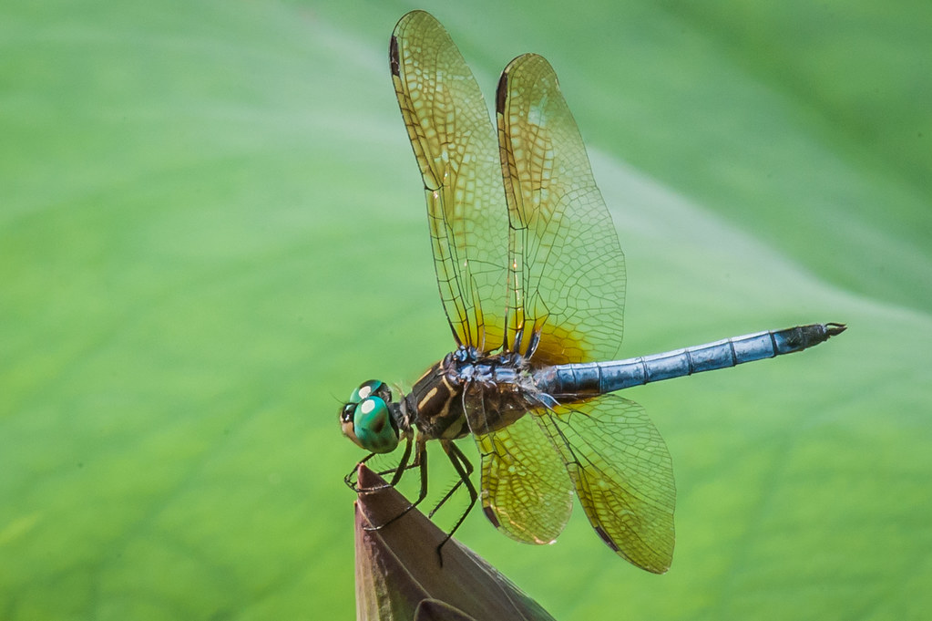 Dragonfly - on Lotus Blossom