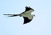 Swallow-tailed Kite by Au13J