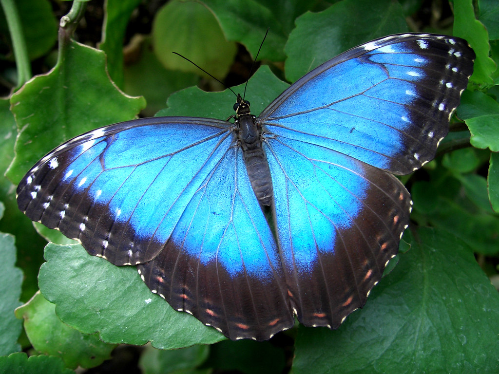 Blue Morpho Butterfly Close-up | Species ID please? I love ...