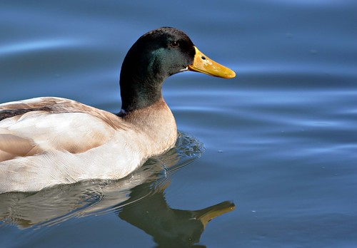 Duck on Lake Burley Griffin #1