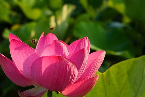 Lotus   by AllenHsu