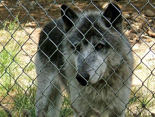 washington wolf animalplanet wolves wolfhaven saywa experiencewa animaladdiction teninowa shesnuckinfuts thoughtstoliveby