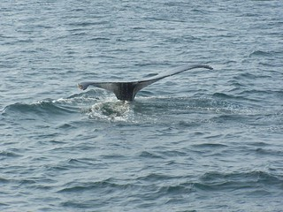 Whale Fluke | by Kathy@dornickdesigns