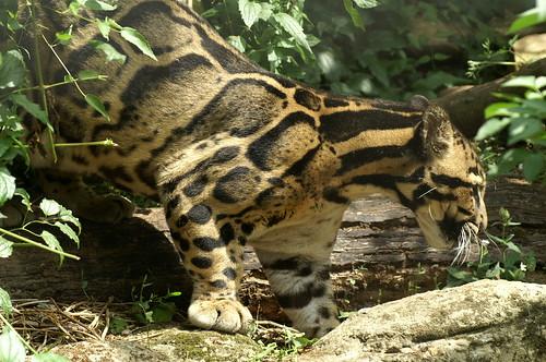 Clouded Leopard | by tim ellis