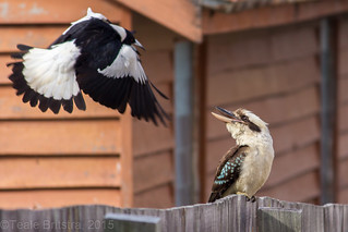 Head's up! Australian Magpie and Laughing Kookaburra.