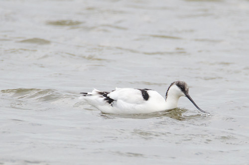 Avocet | by jkyles32