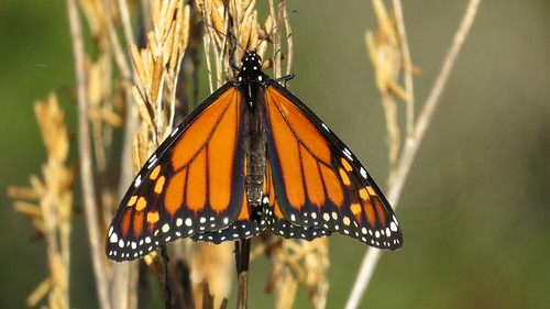 Monarch male butterfly | by John Tann