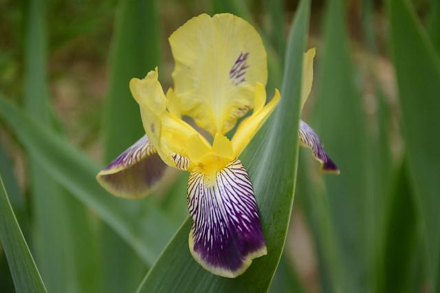 Floraisons 2016 de nos grands iris barbus et Bilan - Page 2 31729868754_614bab78c8_z