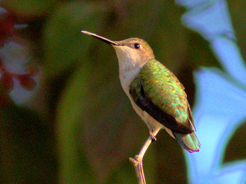 Ruby-throated Hummingbird 01-20170109