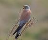 Lesser Kestrel by Cyprus Bird Watching Tours - BIRD is the WORD