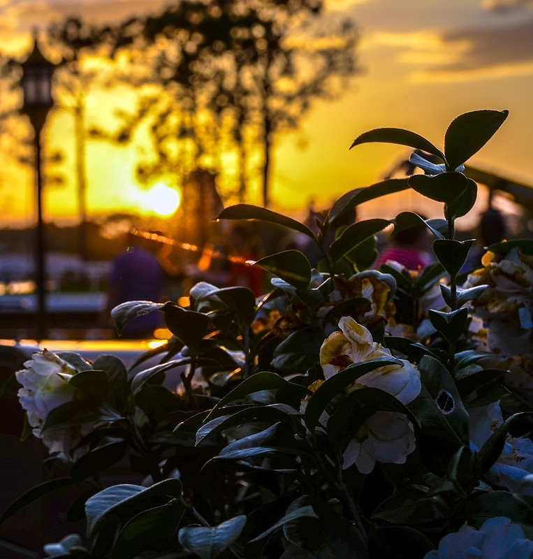 Flowers sunset Epcot