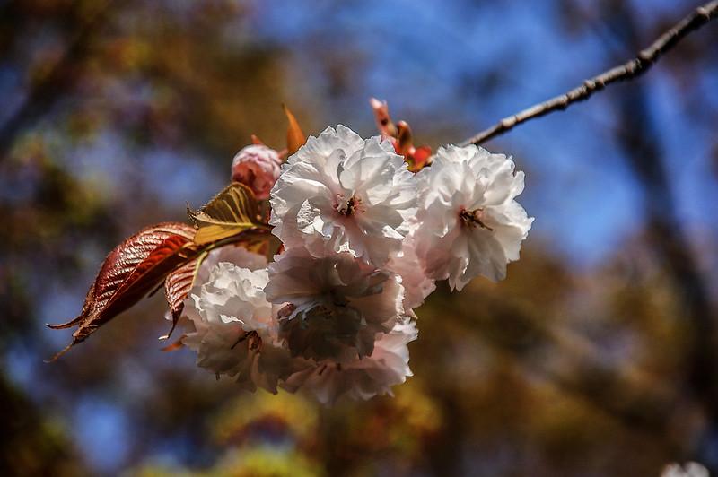 平安神宮賞櫻 (6)