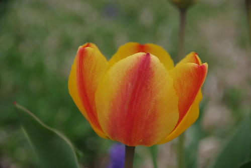Another tulip | by RWKLOSE1