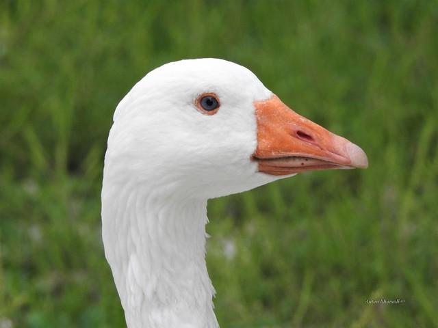 White Goose with Orange Beak