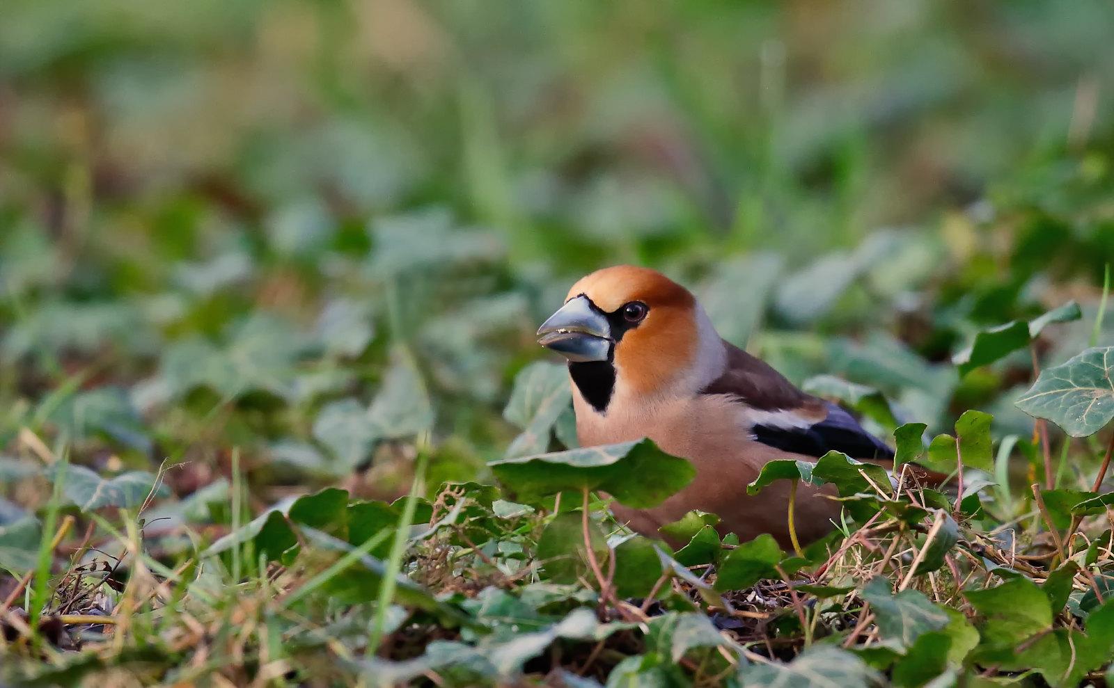 Hawfinch - male