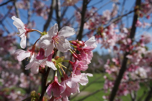 Cherry Blossoms (3/4)   by Kelson