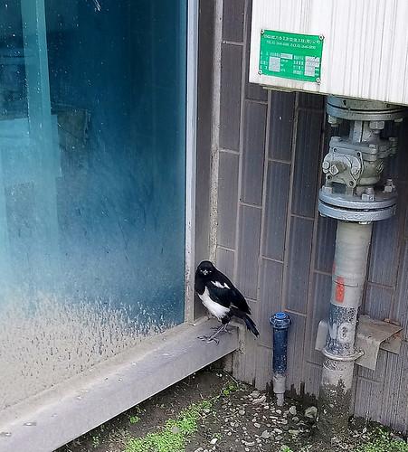 民眾提供發現喜鵲幼鳥時的狀況。