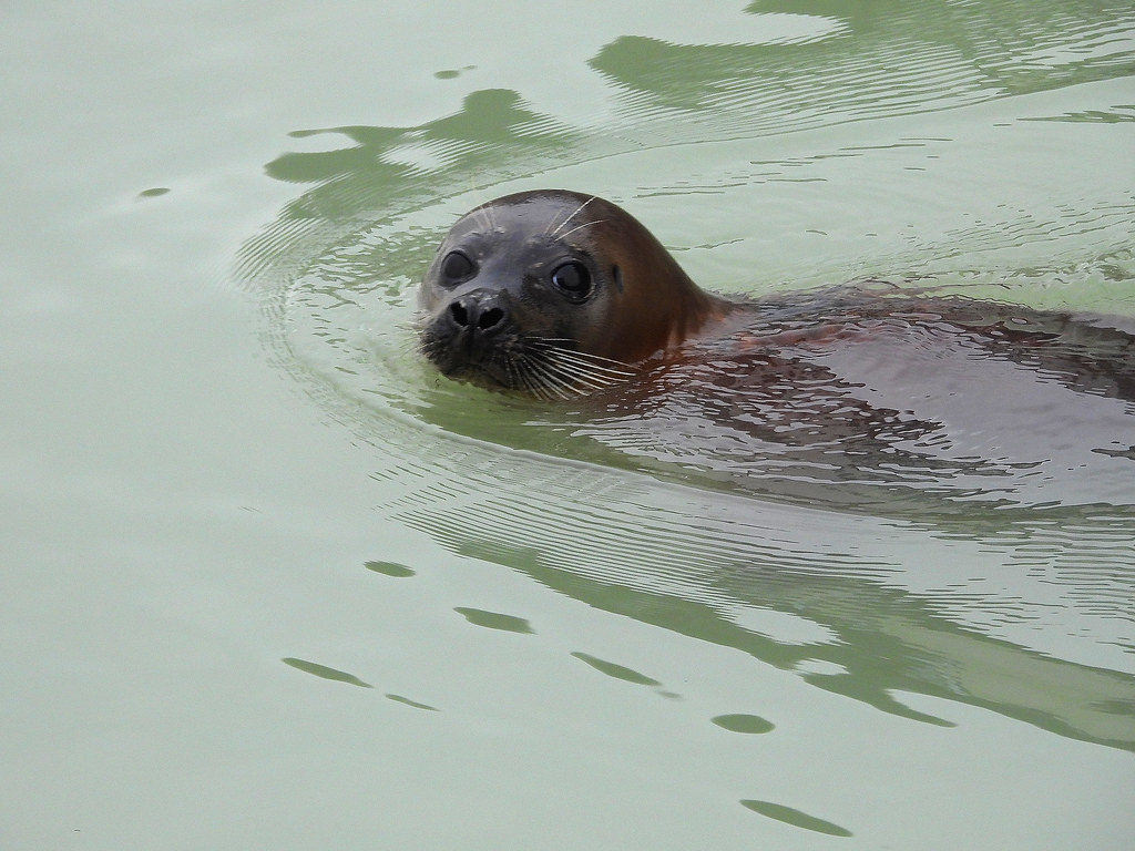 Common Seal, SovHbr, Jan 24 2019, P1 (12)