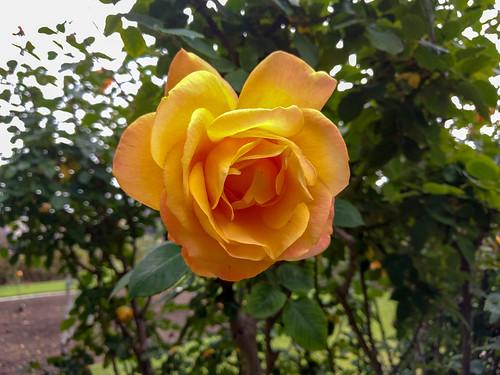 Exposition Park Rose Garden   by RuggyBearLA