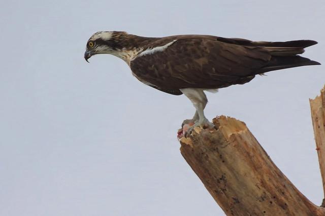 Falco Pescatore/Pandion haliaetus/Western Osprey