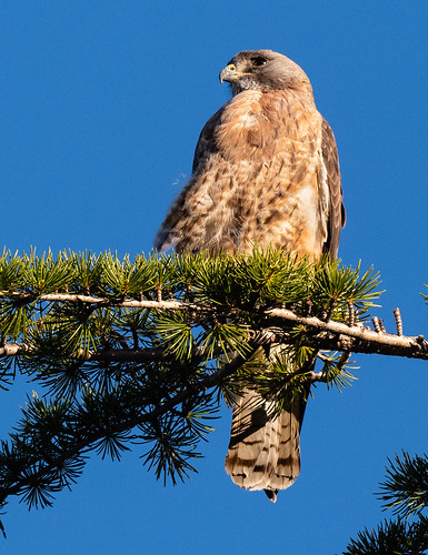 red_tailed_hawk-20190407-150