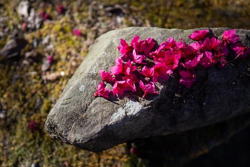山櫻花|阿里山